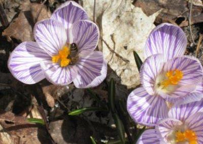 beeinflower