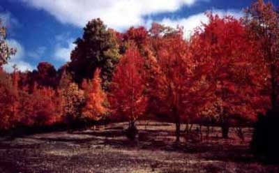 fire-trees